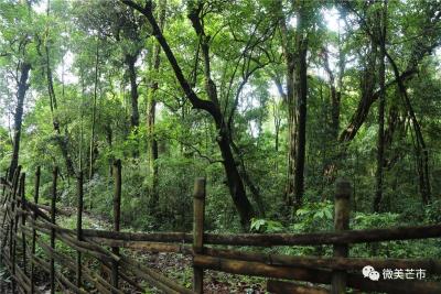 绿水青山就是金山银山,芒市这个村家门口就有一片数百亩的原始森林