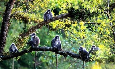 云南芒市:菲氏叶猴之乡