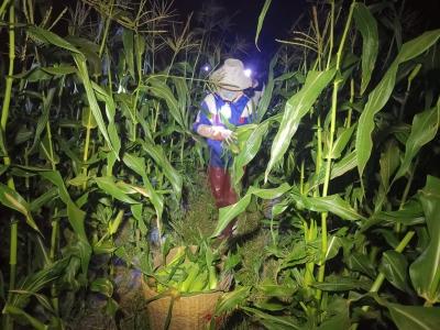 【傣语】甜脆玉米价格好 甜了种植农户心
