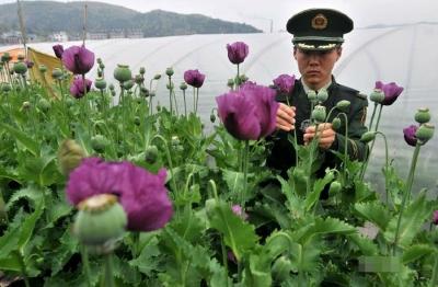 【傣语版】芒市关于严厉打击毒品犯罪和非法种植 毒品原植物犯罪的通告