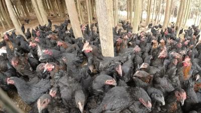 【傣语】景颇妇女林下养出生态鸡