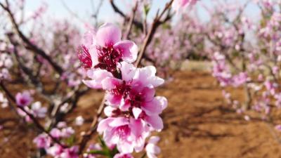 【傣语视听】勐戛沙子坡的桃花开了,一起去游玩吧!