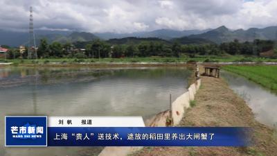 """上海""""贵人""""送技术,遮放的稻田里养出大闸蟹了!"""