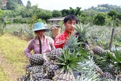 太好卖!手慢无!风平南相章村菠萝丰收了!