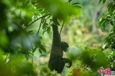 滇西秘境•云南生物多样性主题采访行|寻猿记:看天行长臂猿们如何与人类和谐相处