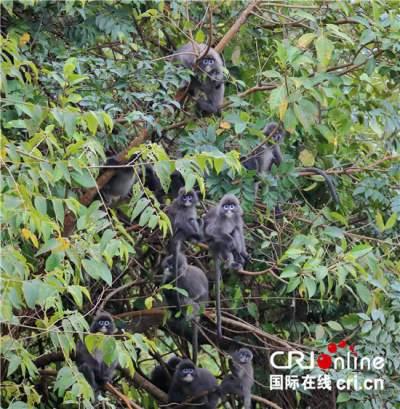 转变发展方式 云南德宏菲氏叶猴保护探新路