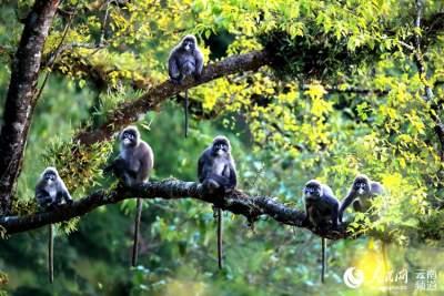 走进菲氏叶猴栖息地:顺应自然 守护绿色家园