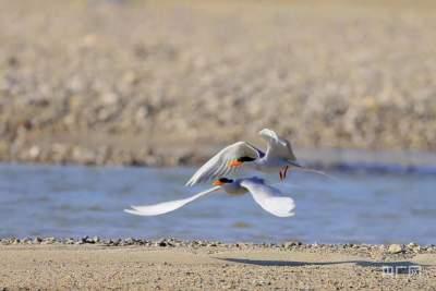 保护生物多样性|河燕鸥:寻觅之后,它选择这里作为最后的栖息地