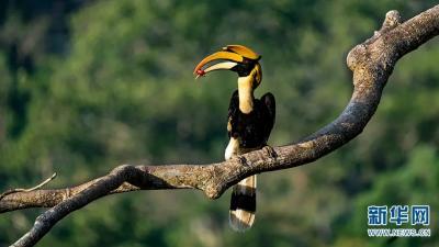 德宏:全中国只有在这里才能观测到五种犀鸟