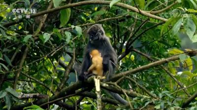 德宏菲氏叶猴保护上了焦点访谈,它们在德宏的数量500+