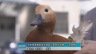 市林草局救助放生国家二级保护动物——赤麻鸭