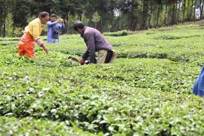 团田乡:大力发展茶产业助推脱贫攻坚