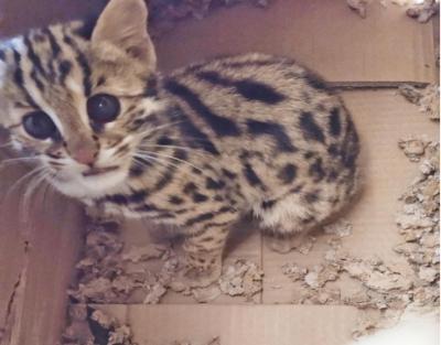 芒棒镇林业站救豹猫回归自然