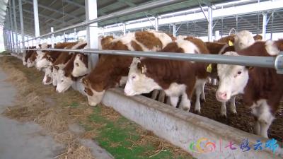 鹏欣集团保山腾冲市肉牛养殖项目开工建设
