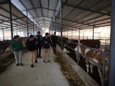 五合乡肉牛养殖项目逐步走上正轨