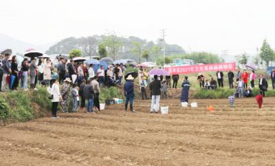 腾冲市四万亩万寿菊开始移栽