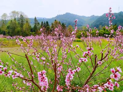 云南学习平台:乡村振兴 | 云南腾冲北海:十里桃花朵朵开 富美乡村款款来