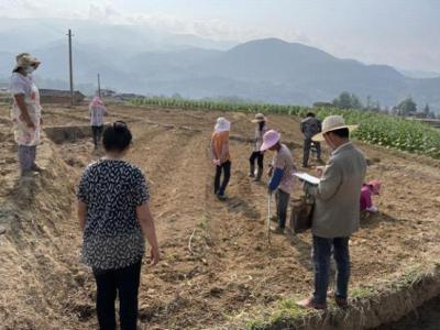 腾冲市农业农村局在芒棒镇种青贮饲料样板田