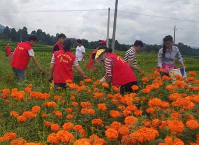 腾冲市气象局志愿服务队为空巢老人采摘万寿菊