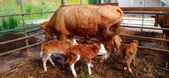 腾冲中和:一母牛产下3胞胎