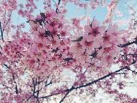 冬樱花盛开 扮靓蒙城
