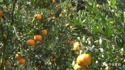 云南蒙自:发展林果产业 绿了村庄 富了群众