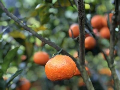 户育乡的橘子熟啦!周末约上家人好友采橘去