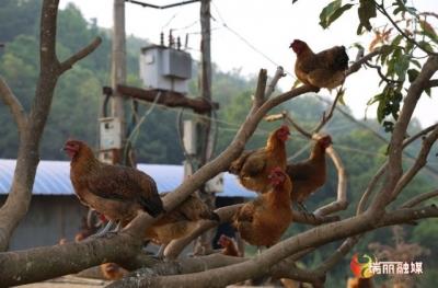 【决胜小康·奋斗有我】瑞丽勐秀山林散养的上千只土鸡滞销,快来帮帮他......