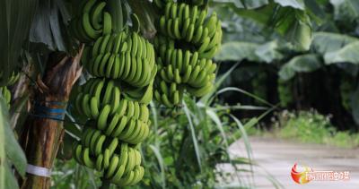 瑞丽将全面实行缴纳复垦保证金制度,严格控制香蕉种植