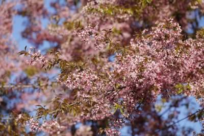 视频|勐秀樱花盛放   如十里锦绣