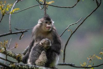 【COP15】滇金丝猴的40年生活巨变