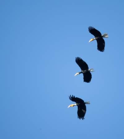 【COP15】藏在深山人未知——花冠皱盔犀鸟