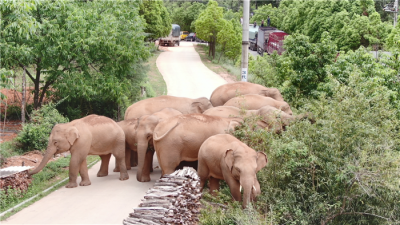 "【COP15】这里是云南,""象""往的地方"