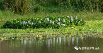 【COP15】瑞丽:小湿地大可观