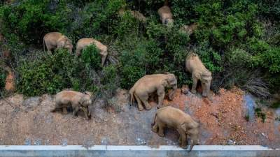 【关注】可为与有为!云南亚洲象保护这么拿高分