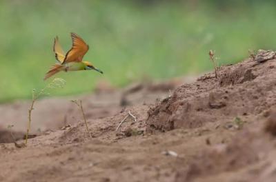 【COP15】惊艳!5种蜂虎鸟汇集云南小山村