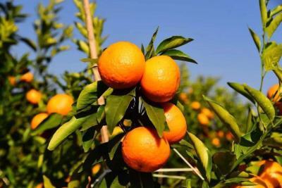 """打造特色农业示范区  """"橙""""就甜蜜美好新事业"""