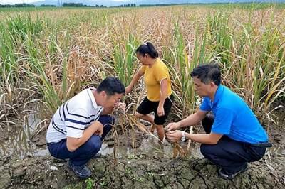 陇川县甘蔗技术推广站开展甘蔗洪涝灾害排查工作