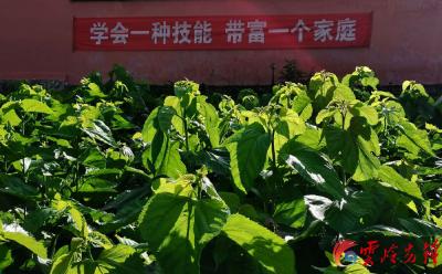 """""""走向我们的小康生活""""——陇川蚕桑产业助群众增收致富"""
