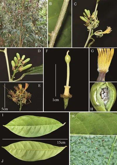 #相约COP15#云南德宏州发现斑果藤属新种