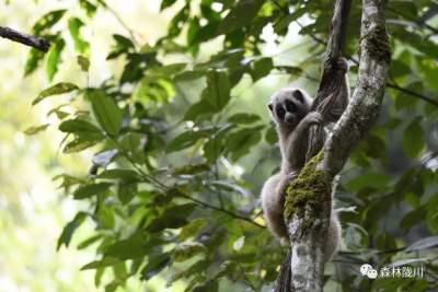 #相约COP15#保护蜂猴应该怎么做?