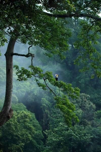 #相约COP15#科普云南   景颇神鸟——犀鸟