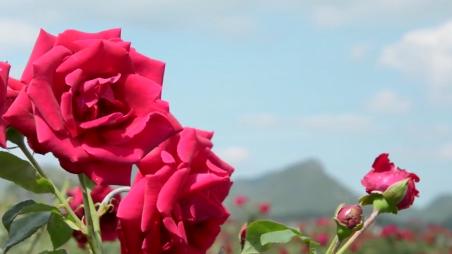 《民族团结进步》— 玫瑰园