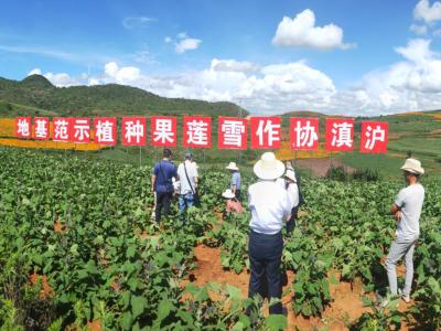 上海拼多多携手消费者协会来丘调研雪莲果产业