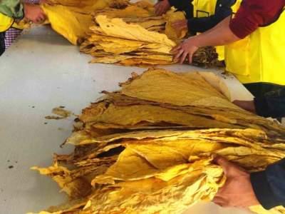 丘北县2020年烟叶收购工作正式启动