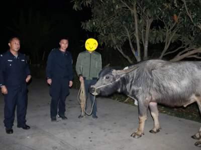 丘北普者黑派出所帮助群众找回遗失水牛