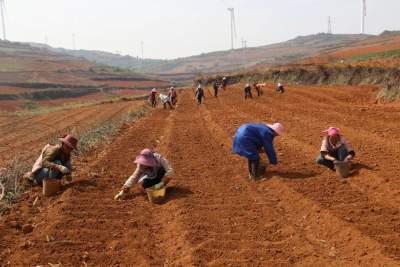 丘北腻脚彝族乡:千亩魔芋种植示范基地完成播种