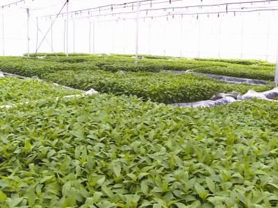 擦亮名片!丘北今年预计种植辣椒51万亩