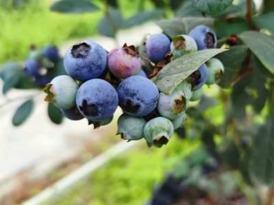 """美味""""蓝""""不住,怎能""""莓""""有你……普者黑梅子山蓝莓成熟啦,快约起!"""
