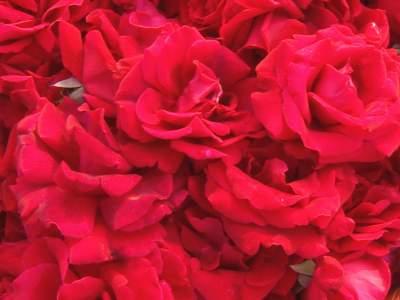 普者黑:千亩玫瑰盛放 花农采花正忙